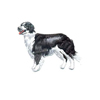 Border Collie st�ende